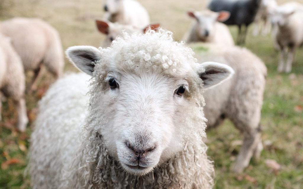 american-sheep-industry-association