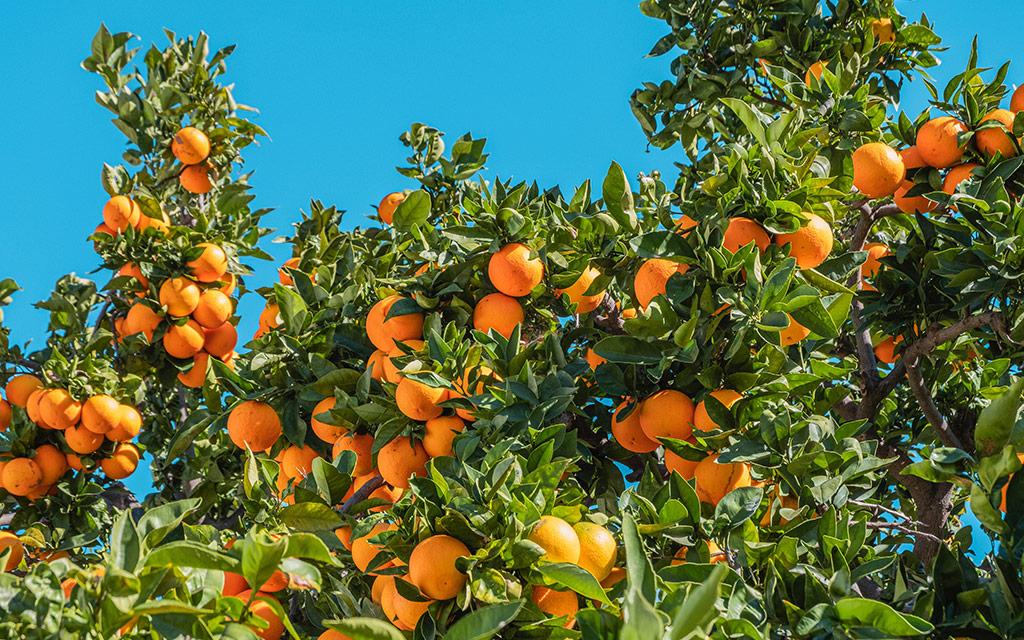 florida-department-of-citrus