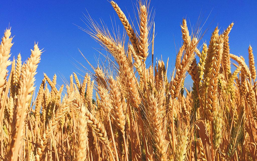 us-wheat