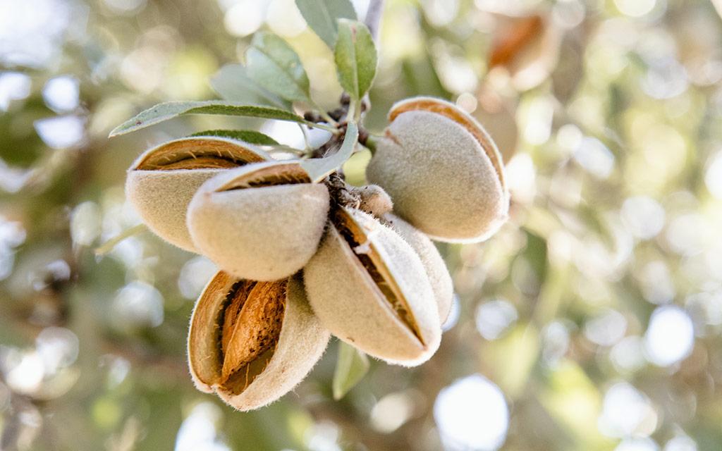 almond-board-of-california