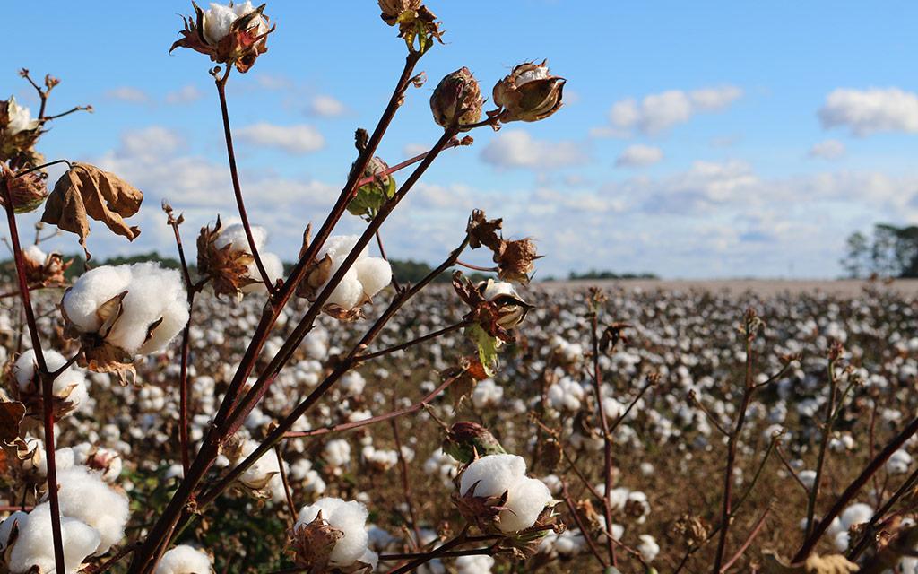 cotton-council