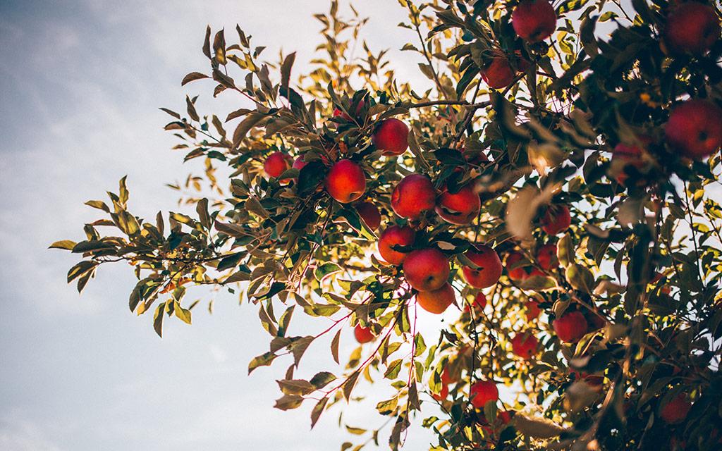 us-apple-council